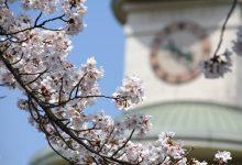2017年春/大熊町の桜