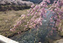 2017年春/川内村の桜