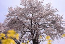 2017年春/楢葉町の桜