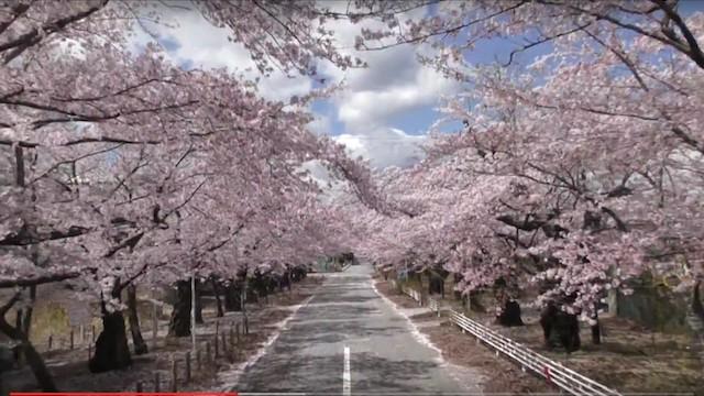 富岡インサイド/夜ノ森の桜・総集編2016〜夜明けまで5年〜