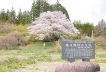 2017年春/葛尾村の桜