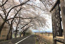 2017年春/浪江町の桜